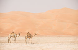 Portrait of camels in the desert. Royalty Free Stock Photo