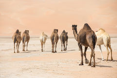 Portrait of camels in the desert. Stock Photos