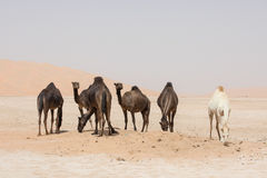 Portrait of camels in the desert. Royalty Free Stock Photography