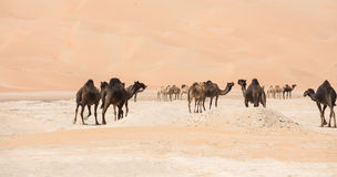 Portrait of camels in the desert. royalty free stock images