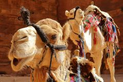 Portrait of camels in Petra, Jordan. Middle East stock photography