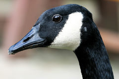 Portrait of a Canada Goose Stock Photography