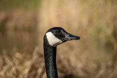 Portrait of Canada Goose Branta canadensis. Portrait of single Canada Goose Branta canadensis royalty free stock images