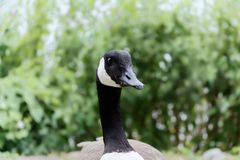 Portrait of Canada goose, Branta Canadensis against green hedge. Malente, Germany royalty free stock photography