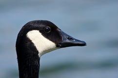 Portrait of Canada Goose (Branta canadensis) Stock Image