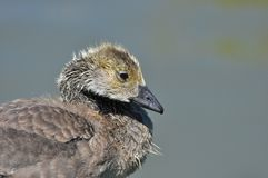 Portrait of Canada Goose Gosling Royalty Free Stock Photography