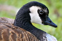 Portrait Canada goose Royalty Free Stock Photos
