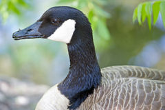 Portrait of a Canada Goose Stock Photo