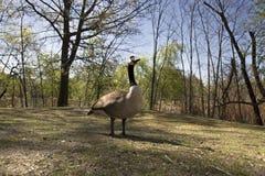 Portrait of canadian goose Stock Image
