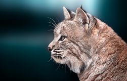 Portrait of a canadian lynx on a beautiful background stock photos