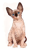 Portrait of the  Canadian sphinx cat Stock Photo