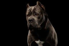Portrait Cane Corso Dog on Black Royalty Free Stock Photo