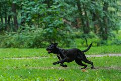 Portrait of a Cane Corso dog breed on a nature background. Dog running and playing ball on the grass in summer. Italian mastiff. Puppy stock images
