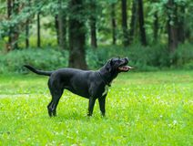 Portrait of a Cane Corso dog breed on a nature background. Dog running and playing ball on the grass in summer. Italian mastiff. Puppy stock photography