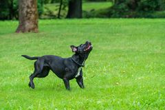 Portrait of a Cane Corso dog breed on a nature background. Dog running and playing ball on the grass in summer. Italian mastiff. Puppy stock image