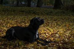 Portrait of a Cane Corso dog breed on a nature background. Dog playing on the grass with colored leaves in autumn. Italian mastiff. Puppy stock image
