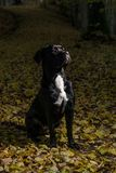 Portrait of a Cane Corso dog breed on a nature background. Dog playing on the grass with colored leaves in autumn. Italian mastiff. Puppy stock images