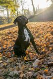 Portrait of a Cane Corso dog breed on a nature background. Dog playing on the grass with colored leaves in autumn. Italian mastiff. Puppy stock photography
