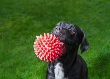 Portrait of a Cane Corso dog breed on a nature background. Dog running and playing ball on the grass in summer. Italian mastiff. Puppy stock photo