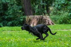 Portrait of a Cane Corso dog breed on a nature background. Dog running and playing ball on the grass in summer. Italian mastiff. Puppy royalty free stock photography