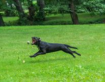 Portrait of a Cane Corso dog breed on a nature background. Dog running and playing ball on the grass in summer. Italian mastiff. Puppy royalty free stock photo