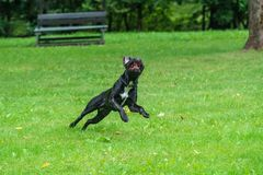 Portrait of a Cane Corso dog breed on a nature background. Dog running and playing ball on the grass in summer. Italian mastiff. Puppy royalty free stock image