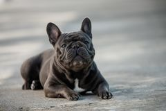 Portrait canin d'un bouledogue français gris reposant et prêtant l'attention image stock