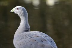 Cape barren goose. Portrait of a cape barren goose standing by the water Royalty Free Stock Photography