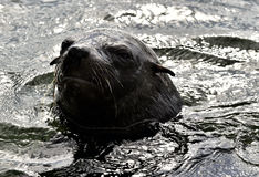 Portrait Cape fur seal (Arctocephalus pusilus) Royalty Free Stock Image