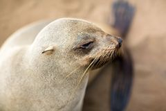 Portrait of cape fur seal. On Skeleton Coast of Namibia Stock Photography