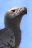Portrait of Cape Griffon Vulture. A closeup view of a Cape Griffon, an African Vulture (Gyps coprotheres stock images