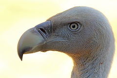 Portrait of Cape Griffon Vulture Royalty Free Stock Image