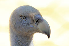 Portrait of Cape Griffon Vulture Royalty Free Stock Photo
