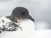 Portrait Cape pigeon sitting on a rock Antarctic island. Stock Photography