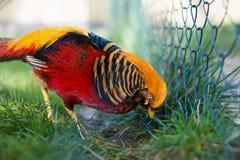 Portrait of captive Golden Pheasant. (Chrysolophus pictus Royalty Free Stock Photos