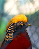 Portrait of captive Golden Pheasant Stock Photo