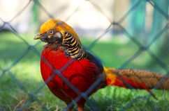 Portrait of captive Golden Pheasant Royalty Free Stock Photo