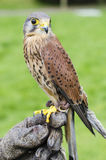 Portrait of captive kestrel Royalty Free Stock Photos