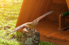 Portrait of captive kestrel bird sitting on a tree stump with spreading wings and basking in the sun. Royalty Free Stock Image