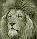 Portrait of captive male lion Stock Photos
