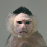 Portrait of capuchin monkey Royalty Free Stock Image