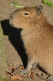 Portrait of a Capybara Stock Images