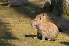 Portrait Capybara in nature Royalty Free Stock Images