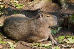Portrait Capybara in nature Stock Photos