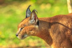 Portrait of Caracal royalty free stock photo