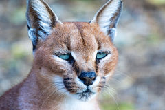 Portrait of a caracal Stock Photography