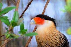 Portrait of Caracara bird Royalty Free Stock Photo