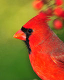 Portrait of Cardinal Stock Photos