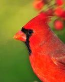Portrait of Cardinal Stock Photos