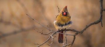 Portrait cardinal femelle Photo libre de droits